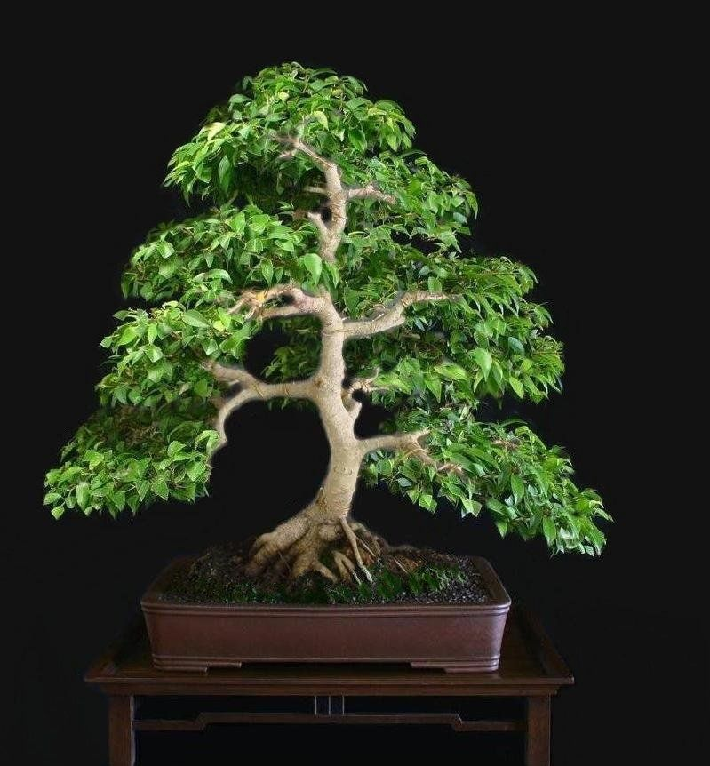 ficus benjamina bonsai pinterest ficus. Black Bedroom Furniture Sets. Home Design Ideas