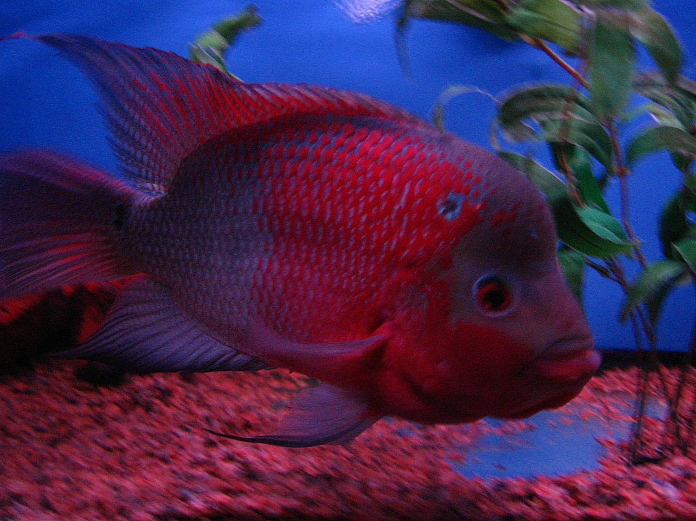 flowerhorn fish pictures | cichlids.com: flowerhorn | Ryans ...