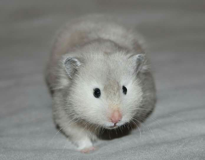 Silver Blue Sable Lh Syrian Hamster Baby Animals Super Cute Cute Hamsters