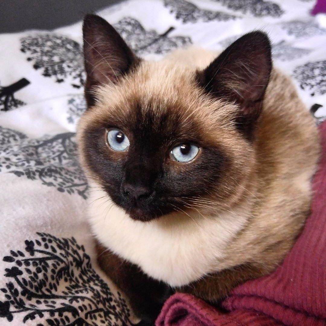 Catsbreedsragdoll Popular Cat Breeds Cat Breeds British Shorthair