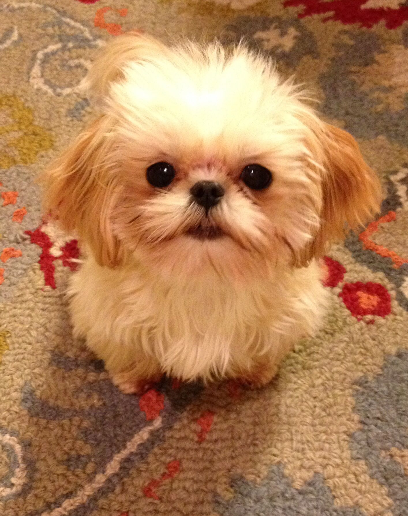 This Is The Previous Pinner S Mini Teacup Shih Tzu Lucy She S