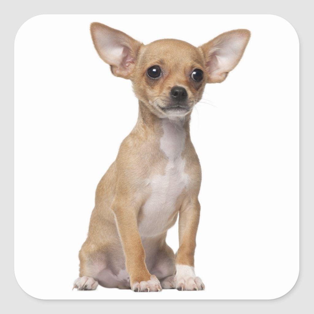 Chihuahua Puppy Dog Stickers Seals Zazzle Com Chihuahua