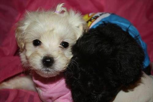 Johnsons Jewels Malti Poo Puppies Cute Dogs Maltipoo Dogs
