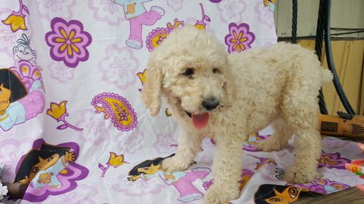 Poodle Standard Puppy For Sale In Dallas Tx Adn 35332 On
