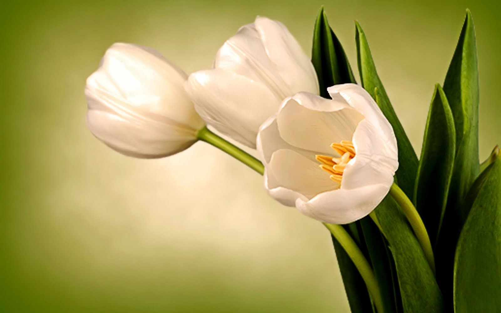 Impressive White Tulips Free Wallpaper For Desktop 1600x1000