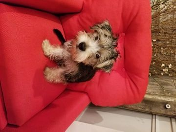 Yorkie Mix Puppy For Sale In Kingsport Tn Adn 28993 On