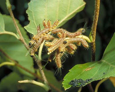 Yellownecked Caterpillar BUG DOC FactSheets