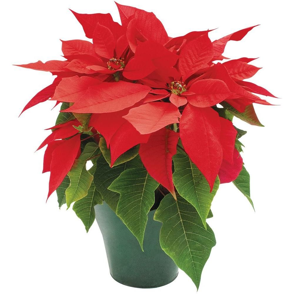 4 in. Live Poinsettia-4INP2013 at The Home Depot