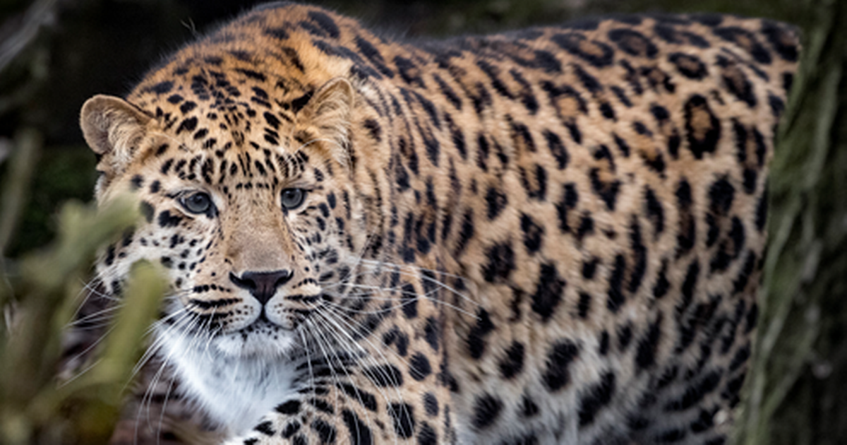 There are only about 60 left in the wild Big cats, Amur