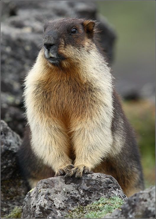 Marmota camtschatica la for t marmota animal marmota et animales - Animaux humoristiques ...