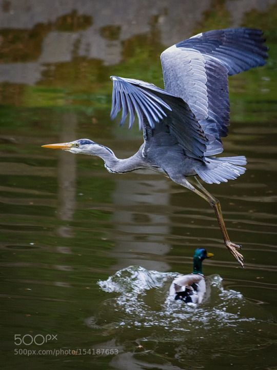 Flying Heron By Odewajones With Images Birds Flying