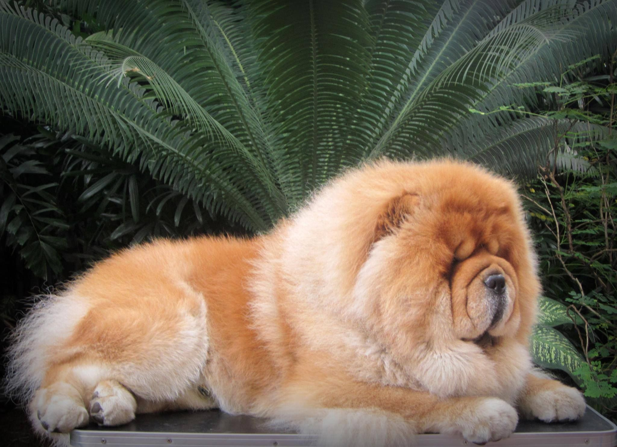 Red Chow Chow Fluffiness Chow Chow Dog Puppy Chow Chow Chow