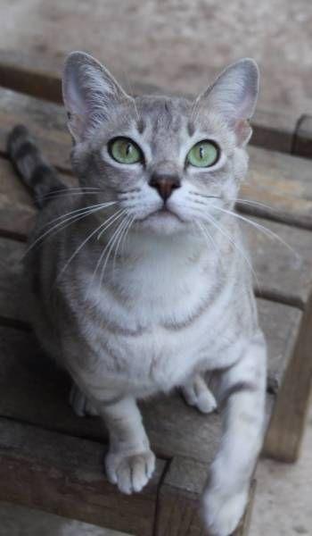 AUSTRALIAN MIST PEDIGREE TEENAGERS Cats & Kittens