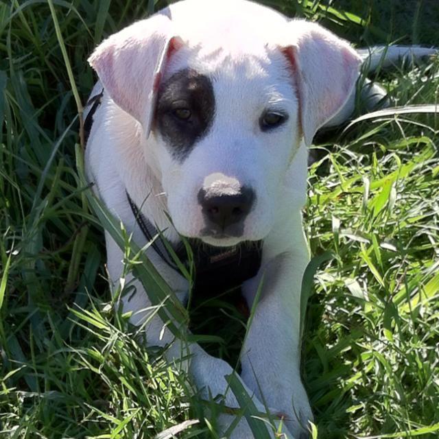 Patch a lab / pit bull mix | Animals | Pinterest
