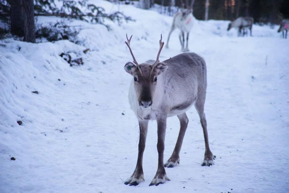 Hello, Little Reindeer! http://wildnordic.fi/safaris/reindeer-tours/