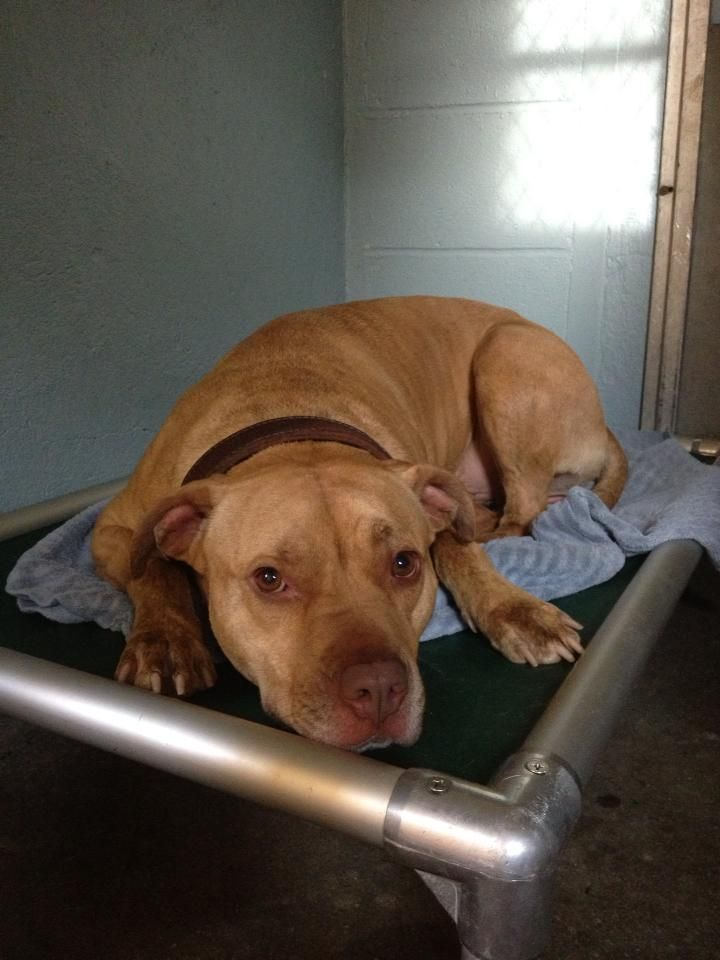 """I Speak for Pitbulls's photo: I am Staxx and I may have only a week or two left to live.   I live in a shelter in Harrison, NY and we have """"run out of money"""". So the SPCA of Westchester is looking to come in and take 9 of the 12 dogs that are here. Unfortunately, I am not one of them.  ww.facebook.com/photo.php?fbid=673012592729234=o.324473690932634=1=1"""