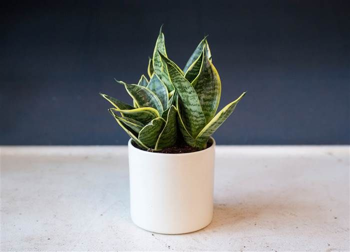 5 Indoor Houseplants You Can T Kill Unless You Try Really Really Hard Snake Plant Plants Houseplants Indoor