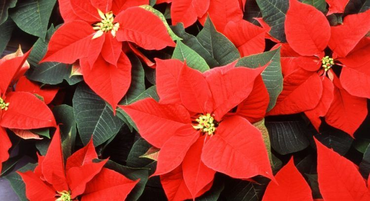 Everything You Need To Know About Poinsettia Poinsettia Plant Poinsettia Euphorbia