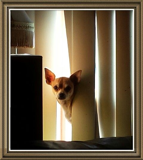 Rusty Tanning Behind The Blinds Chihuahuas
