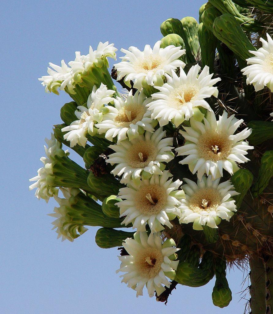 Saguaro Blooms Arizona State Flower. Cactus flower