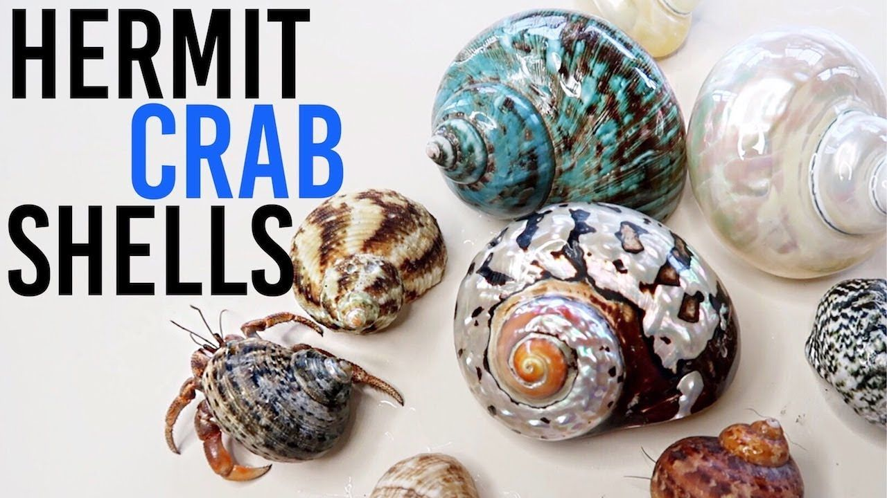 All About Hermit Crab Shells Where To Buy How To Choose