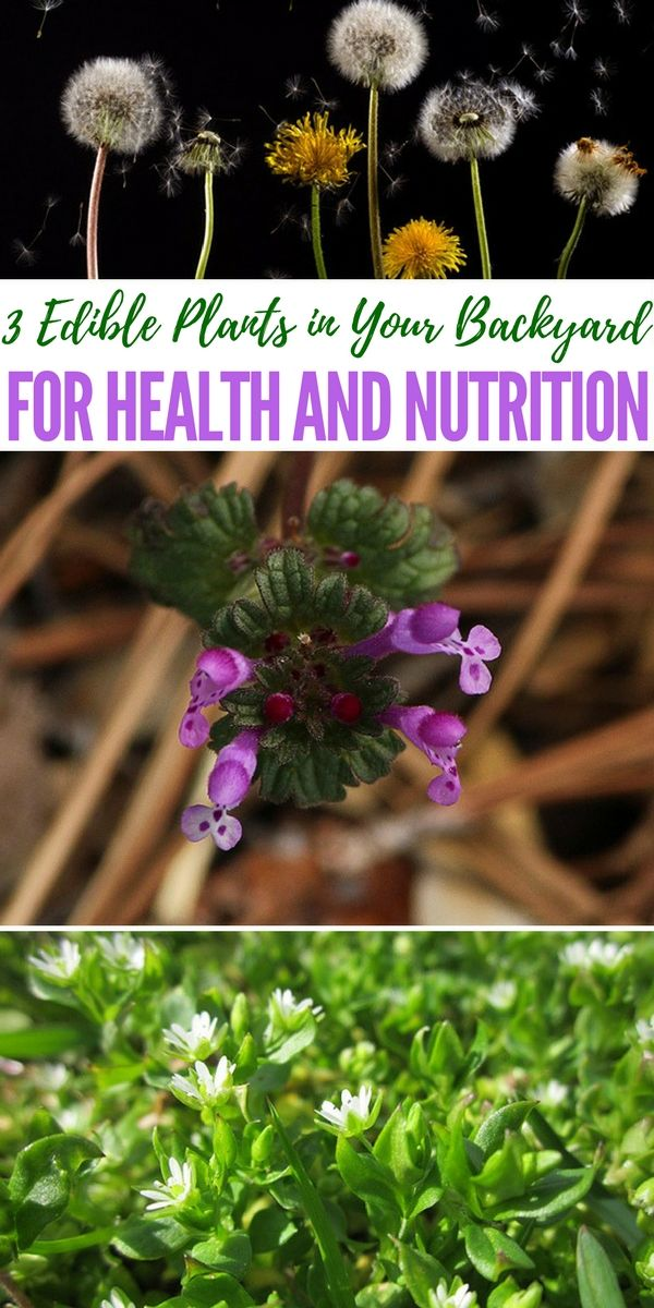 Superior Edible Plants In Your Backyard Part - 10: 3 Edible Plants In Your Backyard For Health And Nutrition