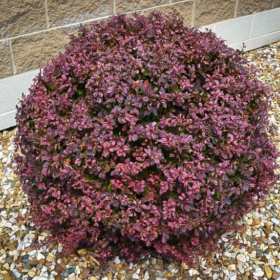 Crimson Pygmy Barberry garden Garden shrubs, Backyard