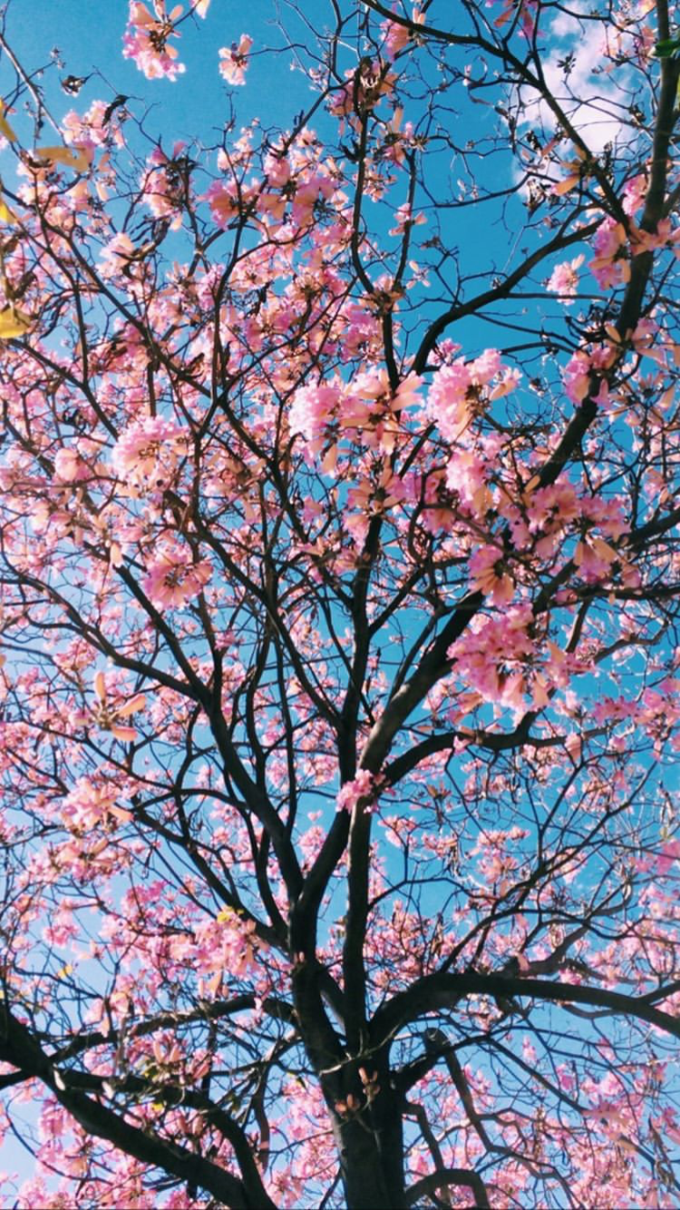 Pin By Tjasha On Your Pinterest Likes Cherry Blossom Wallpaper Pink Blossom Tree Blossom Trees