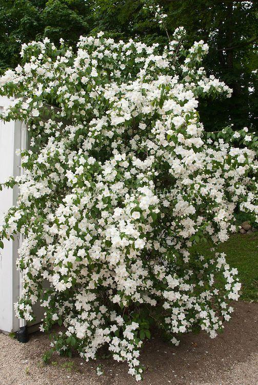 Arbuste buisson de manteau d 39 hermine 39 philadelphe avec for Jardin de fleurs blanches