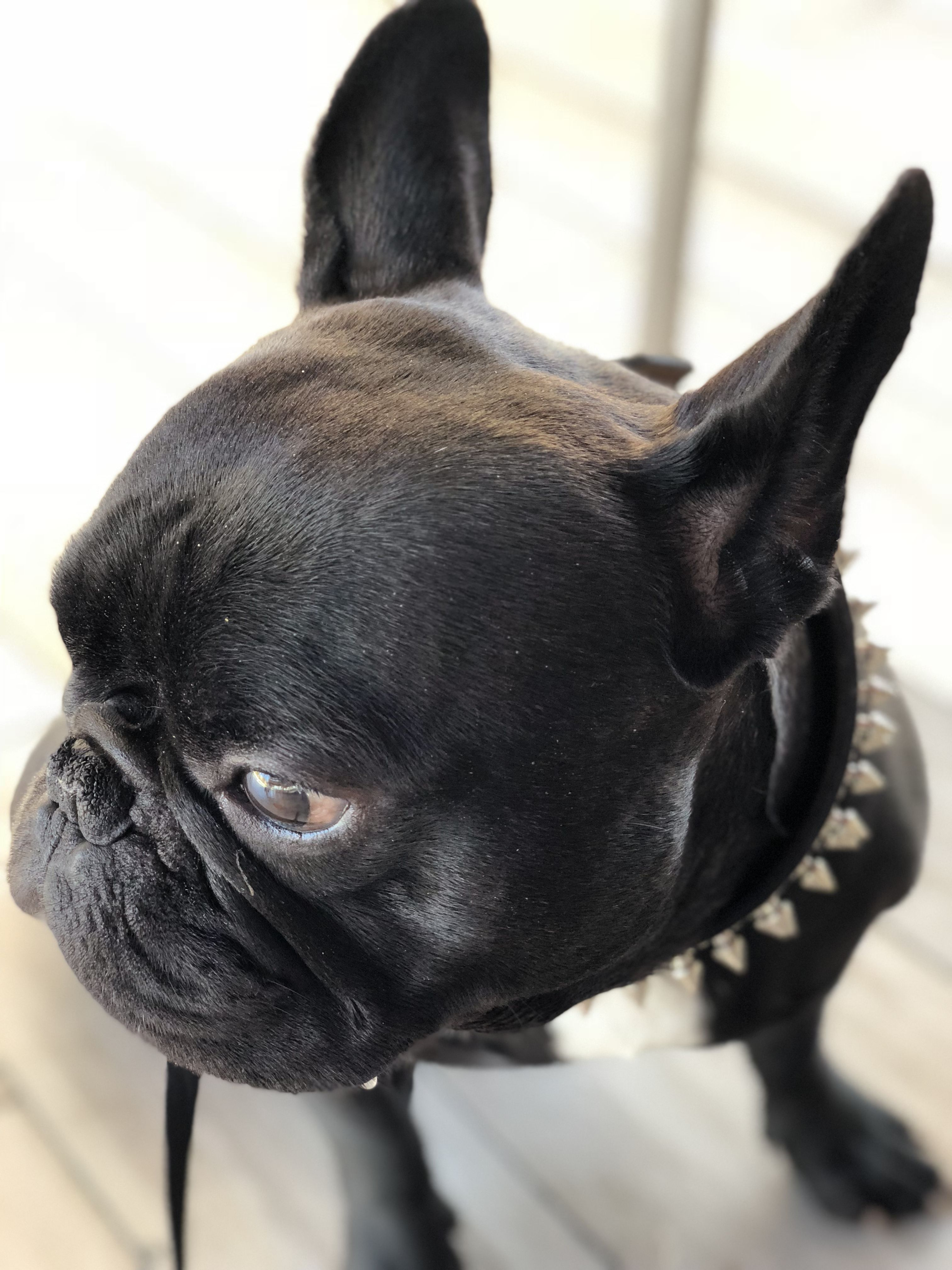 Pin by 4MyBoys21 on ♡♥ FRENCHIE & FRENCHTON LOVE