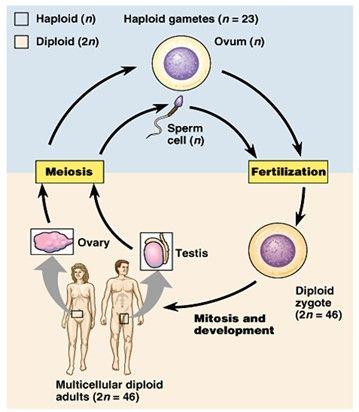 why is mitosis and meiosis important to a living organism The cell cycle living cells go through a series of stages  it is important that the daughter cells have a copy of  the cell cycle, mitosis and meiosis.