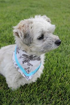 """""""Isabelle Thornton"""" Le Chateau des Fleurs: Dog Bandanna DIY. No sew and cheap. I could make matching bandanas and belly bands for Gilligan!"""