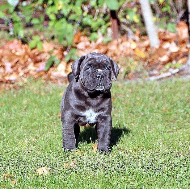 Black Pearl Cane Corso Cane Corso breeders Cane Corso