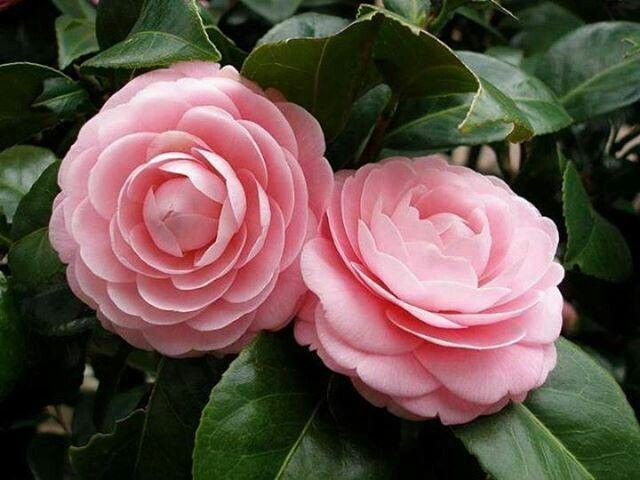 Mis Flores Camellia Flower Beautiful Pink Flowers Pink Flowers