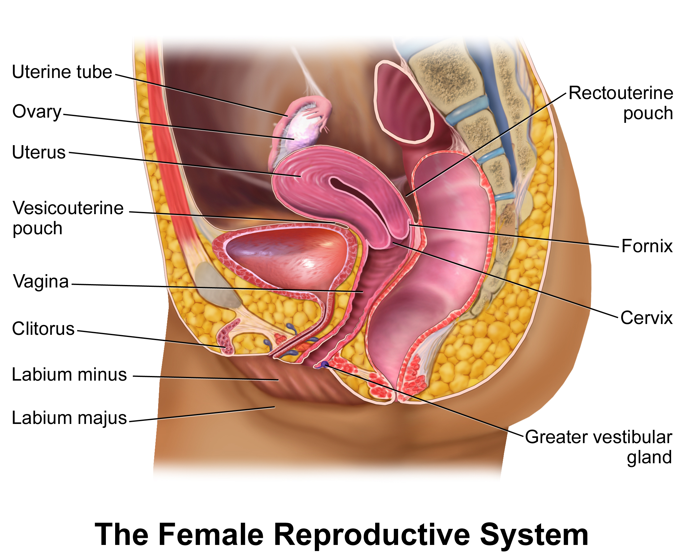 Pelvic Anatomy Google Search Reproductive System Female Reproductive System Human Anatomy Female