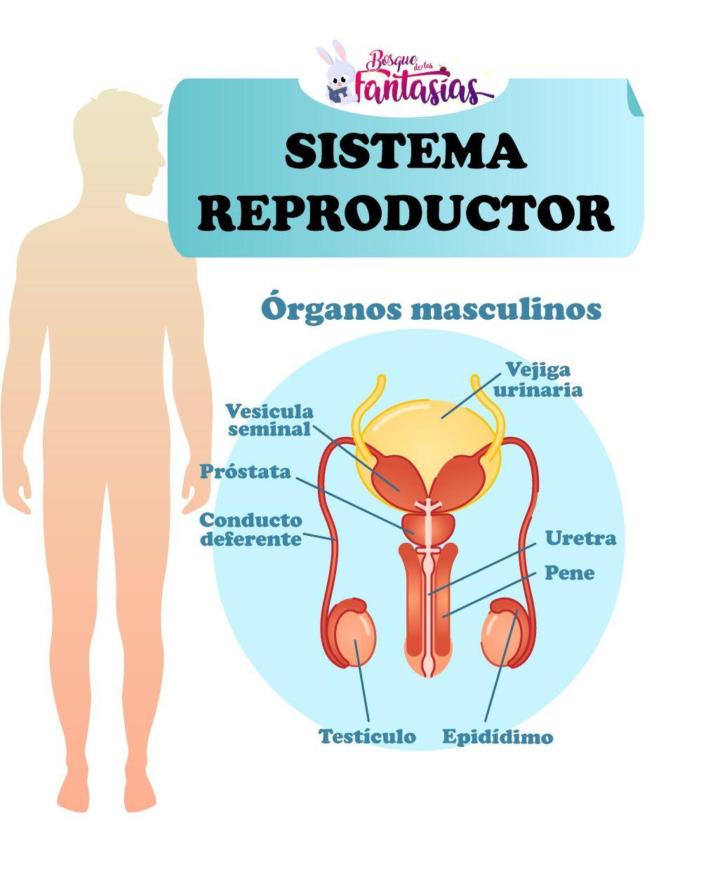 El Sistema Reproductor Partes órganos Y Funciones Sistema Reproductor Anatomía Del Aparato Reproductor Femenino Sistema Reproductor Femenino