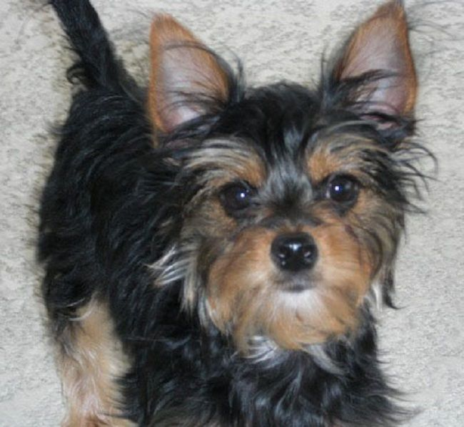 Chihuahua Yorkie Mix Puppies For Sale Zoe Fans Blog Hybrid Dogs Yorkie Chihuahua Mix Yorkie Mix
