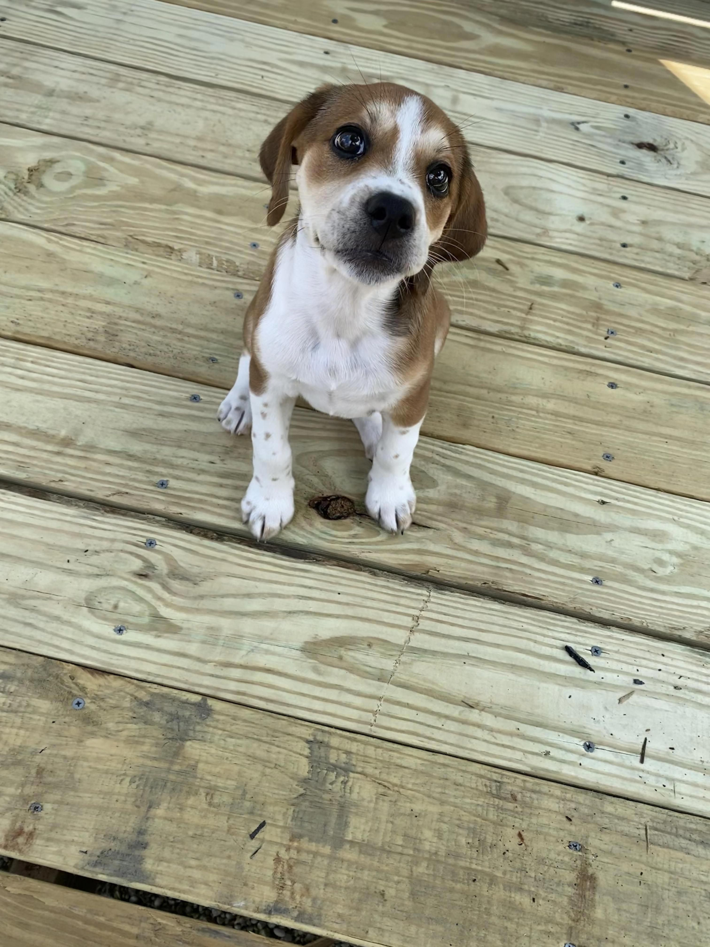 Check Out Our Website For Additional Relevant Information On Beagle Puppies It Is Actually A Superb Location To Read More In 2020 Beagle Puppy Dogs Beagle