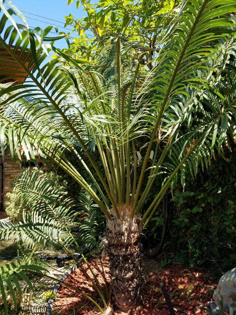 Queen Sago palm