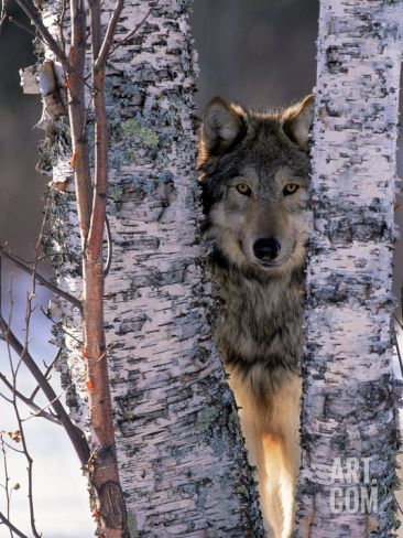 Gray Wolf Near Birch Tree Trunks, Canis Lupus, MN Photographic Print by William Ervin at Art.com