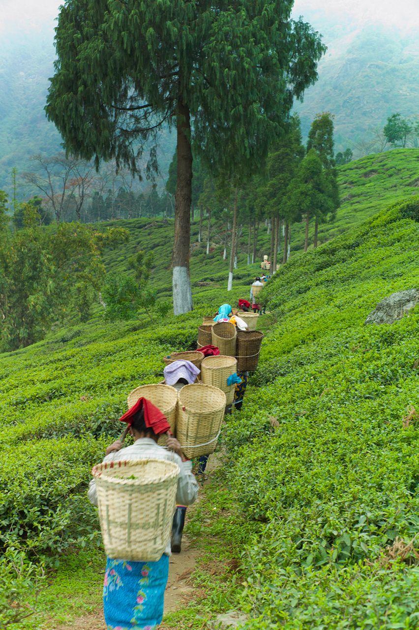 5e020803773b2ff8d25c8ede8a756a19 - List Of Tea Gardens In Darjeeling