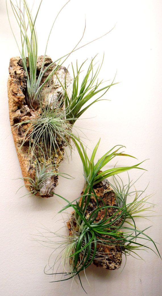 Air plant wall art set of two tillandsia cork bark wall for Air plant art