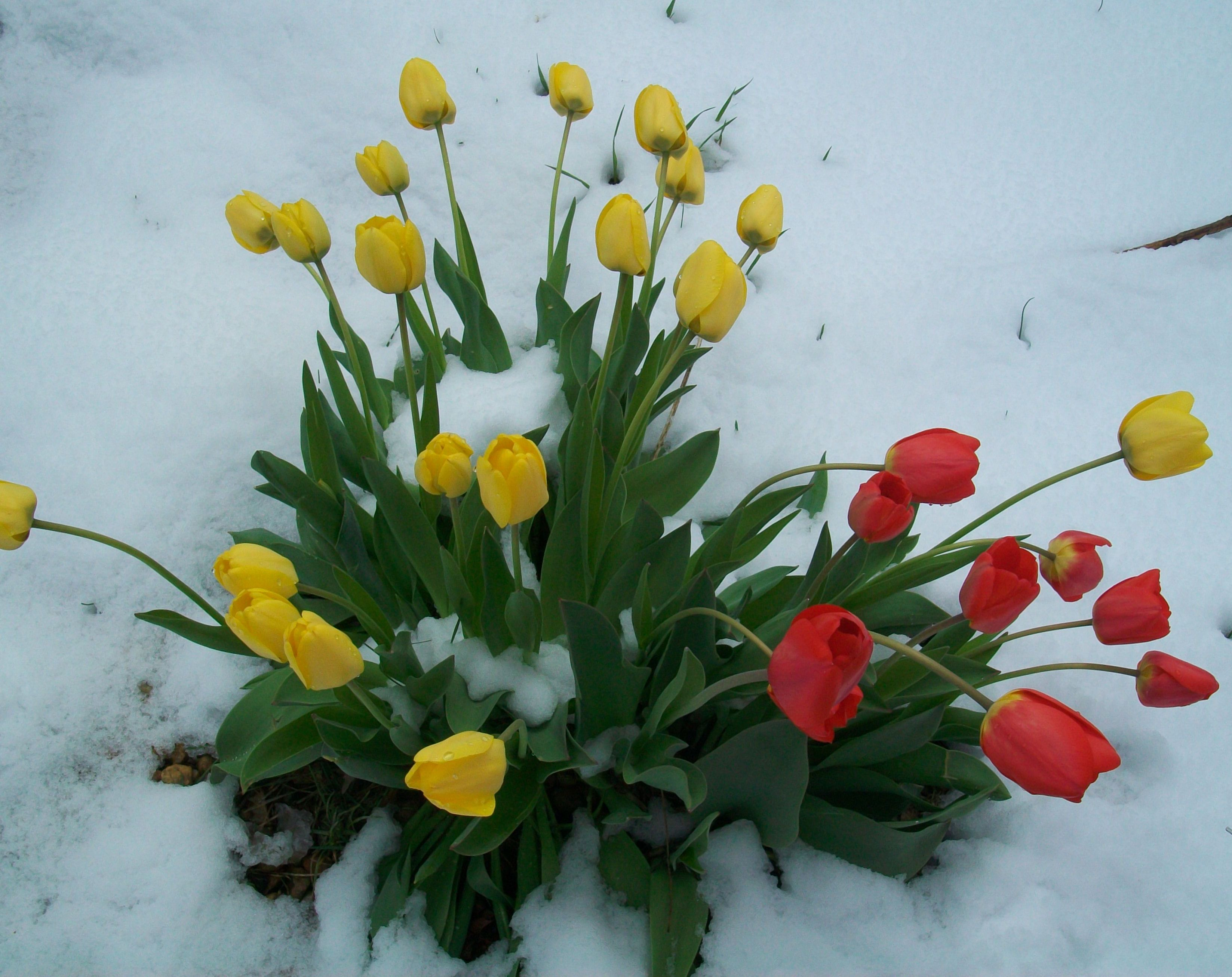 Tulips In Snow Garden Pinterest Snow Beautiful Flowers And