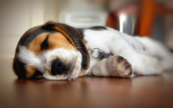 Download wallpapers Small Beagle, puppy, cute dog