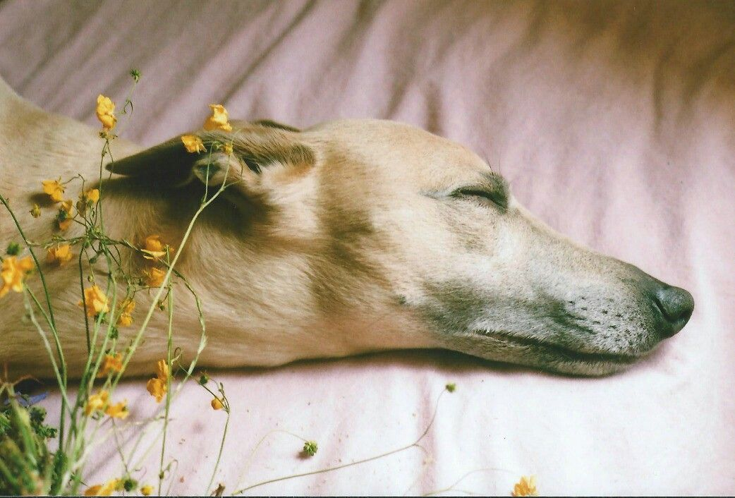 Pin by Senowolf on Photography Little dogs, Greyhound, Dogs