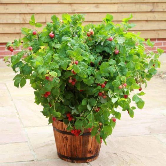 Diese sensationelle neue Zwergzüchtung der Topf-Himbeere 'Ruby Beauty®' (Rubus idaeus) wird nur bis zu 1 m hoch und passt daher bestens auch in den Kübel für Terrasse und Balkon. Wer keinen Garten hat, kommt trotzdem in den Genuss frischer Früchte. Die Weltneuheit aus einer neuseeländisch-amerikanischen Kooperation gedeiht auch im Beet an einem sonnigen bis halbschattigen Standort prächtig. Ein Gerüst oder Aufbinden ist nicht erforderlich.Im Sommer (zwischen Juni und September) können...
