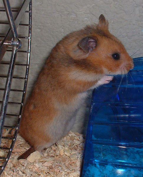 Petsmart Employee Admits To Theft Of Hamsters Hamster Petsmart