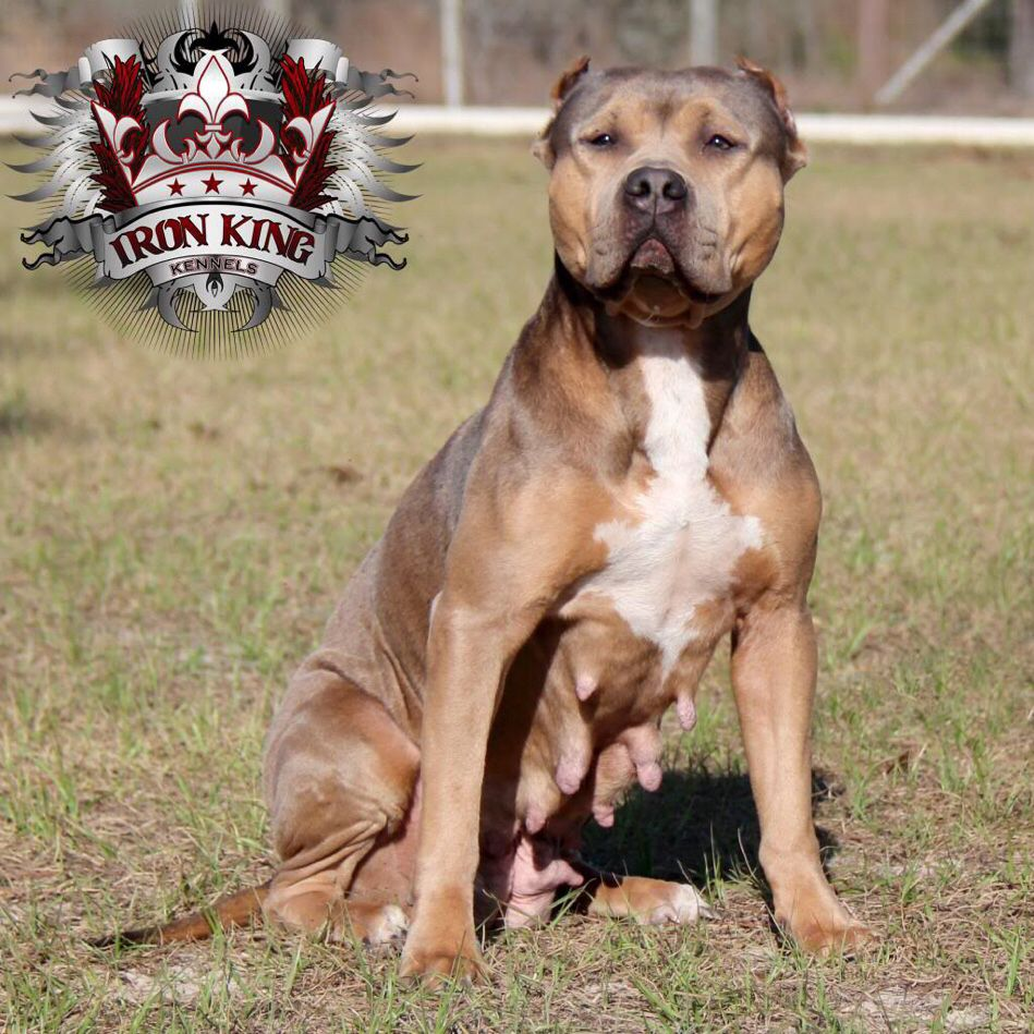 Pin On Iron King Kennels Pitbulls