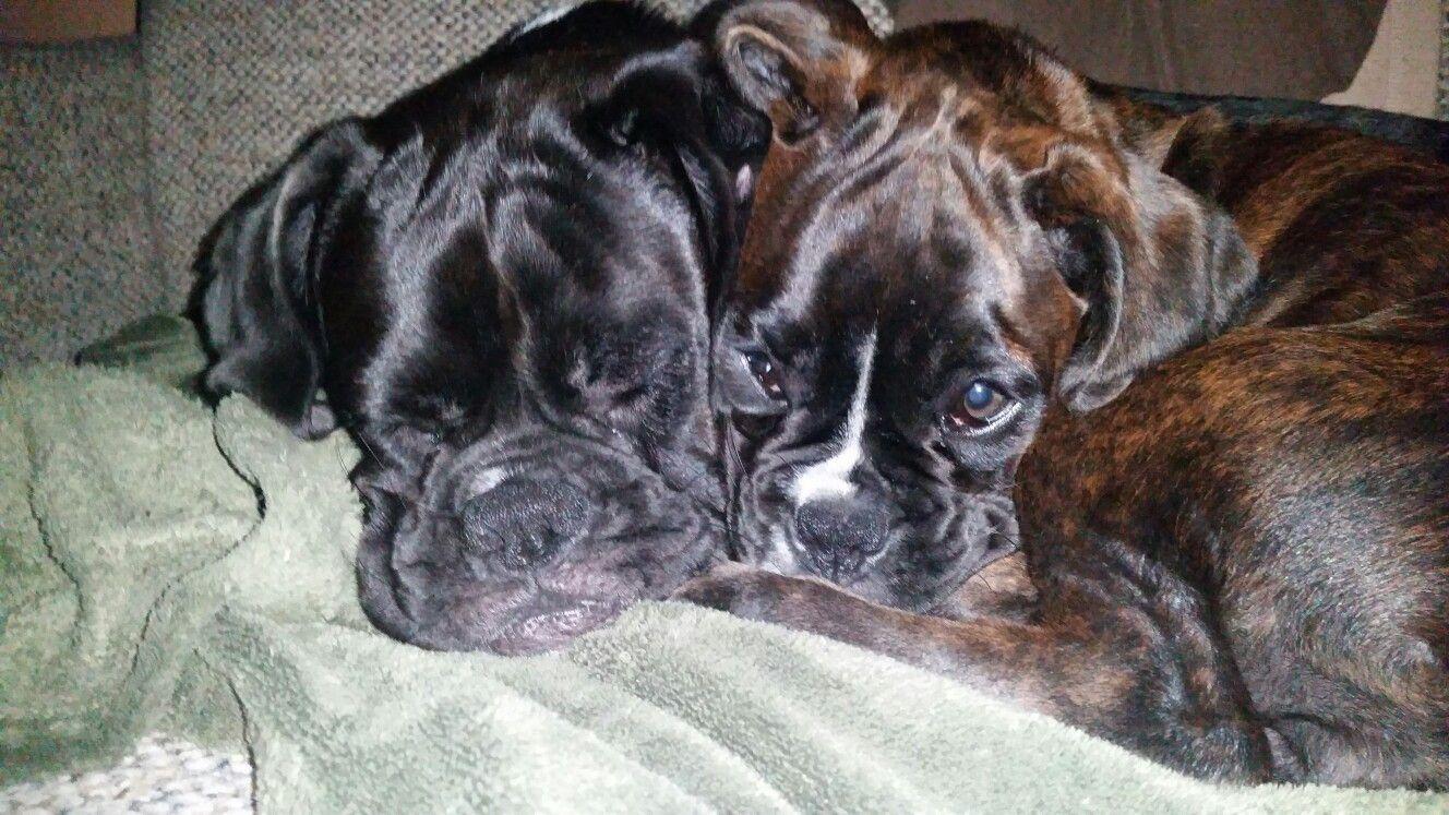 Boxer buddies!