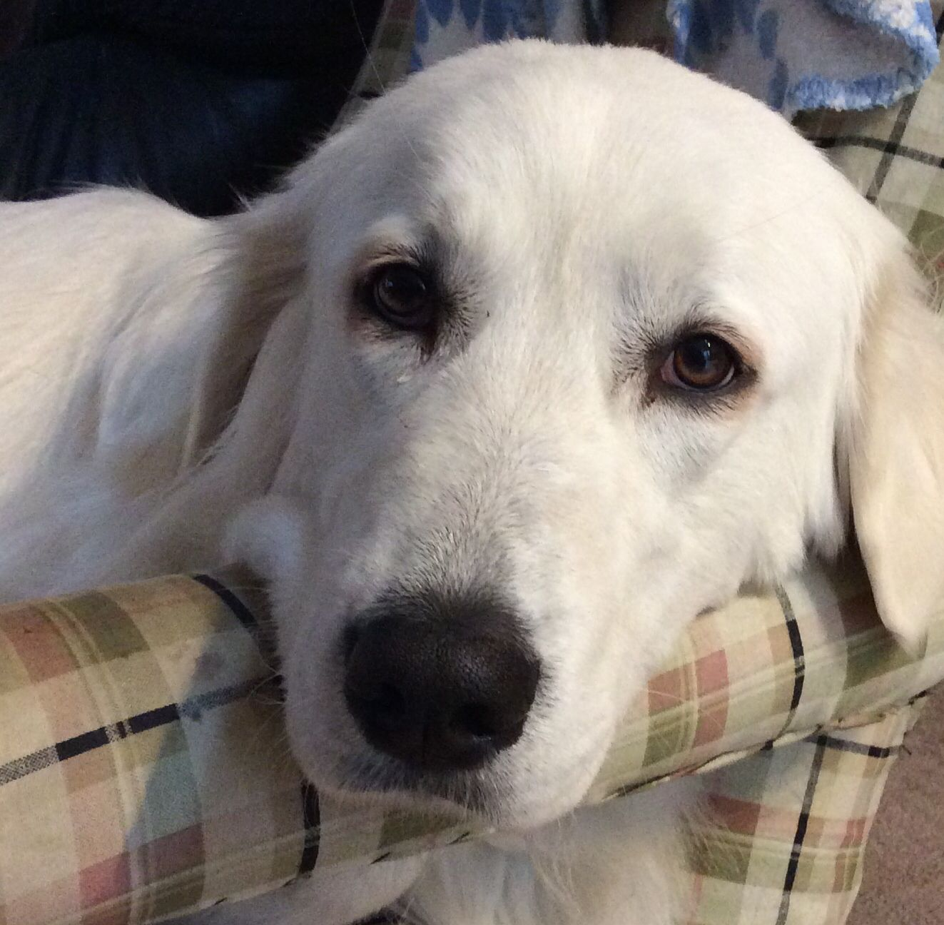 This Is Echo She Was Adopted From The Kingston Ontario Humane Society When We Adopted Her She Attacked 2 Of My Other Dogs Great Pyrenees Dogs And Puppies